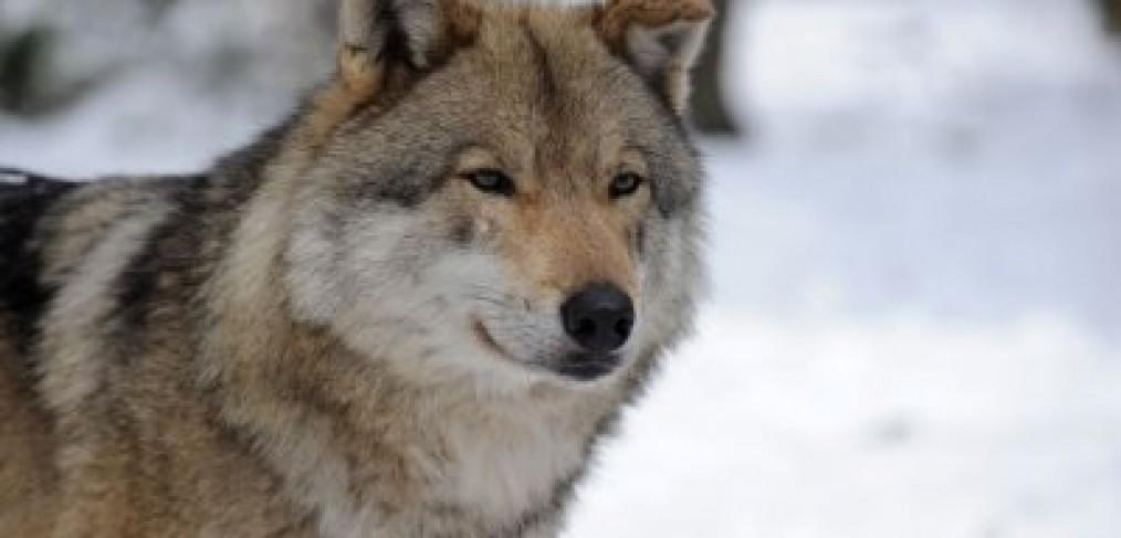 Wolf-wildpark-parc-a-Gibier-le -ciel-et-la-roche